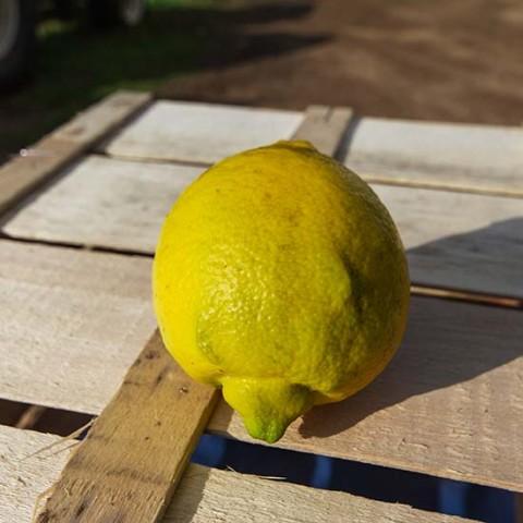 limonidimuravera